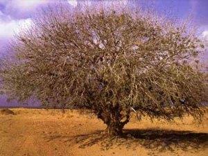 Prophet Muhammad's Tree